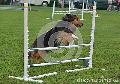 Shetland Sheepdog (Sheltie) at a Dog Agility Trial
