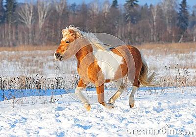 Shetlend pony run free
