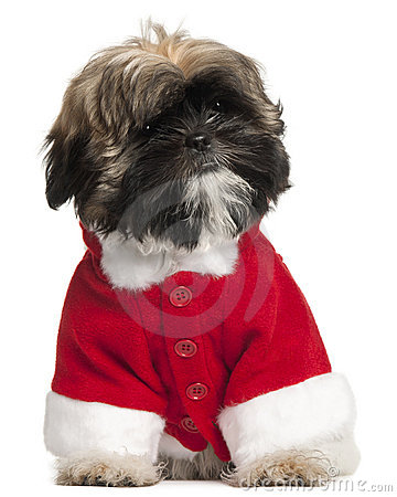 Shi Tzu puppy in Santa outfit, 3 months old