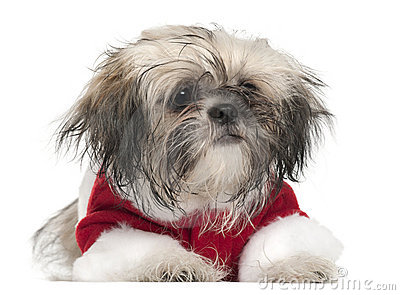 Shi Tzu puppy in Santa outfit, 5 months old
