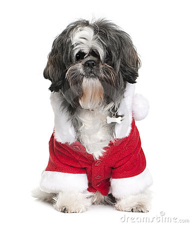 Shi-Tzu in Santa coat, 2 years old