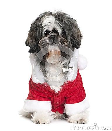 Shi-Tzu in Santa coat, 2 years old