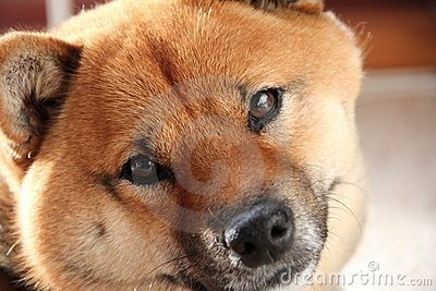 Shiba-Inu Pet Dog