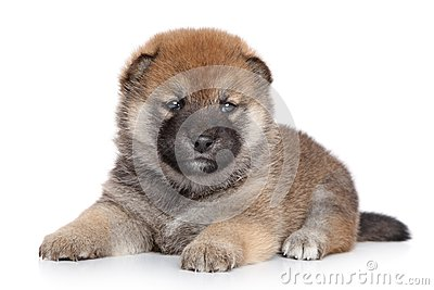 Shiba Inu puppy on white background