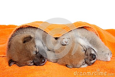 Shibainu puppies sleep under blanket