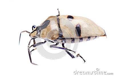 Shield back stink bug