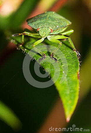 Free Shieldbug On A Leaf Stock Images - 27468734