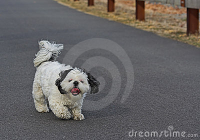 Shih Tsu Taking a Walk