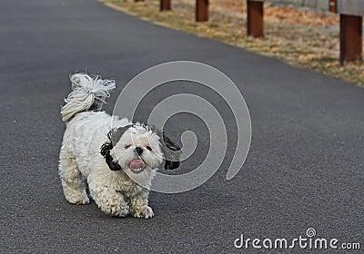Shih Tsu Taking a Walk