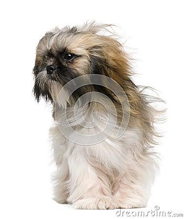Shih Tzu, 1 year old, with windblown hair