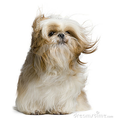Shih Tzu, 18 months old, windswept and sitting
