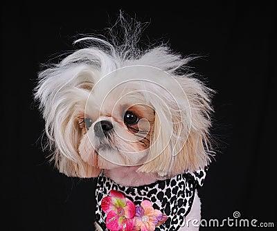 Credit Cards For Bad Credit >> Shih Tzu Dog Bad Hair Day Stock Photo - Image: 8440260
