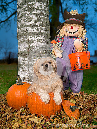 Free Shih Tzu Dog In Autumn Halloween Pumpkin Stock Image - 27190441