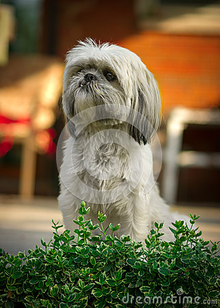 Shih Tzu Dog Sitting at Attention