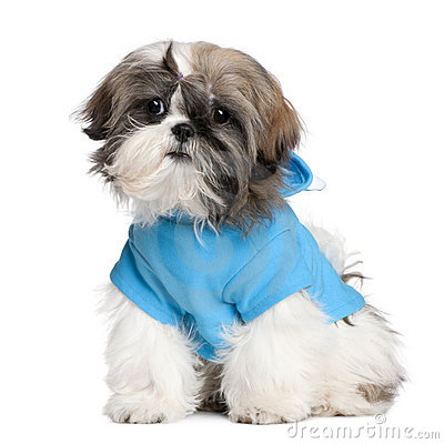 Shih Tzu with dresses