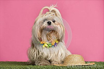 Shih tzu going on holidays