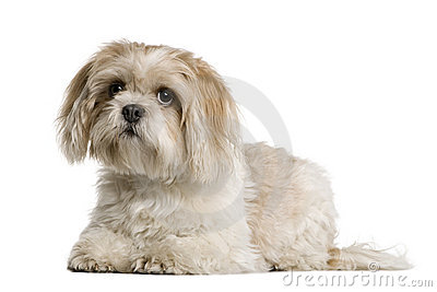 Shih Tzu lying down and looking up
