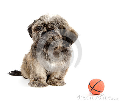 Shih Tzu playing with ball