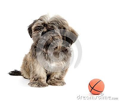 Shih Tzu playing with ball