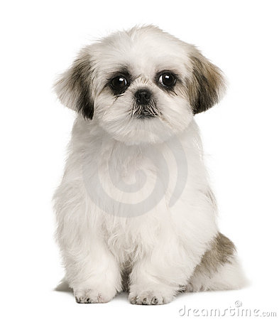 Shih tzu puppy, 4 months old, sitting