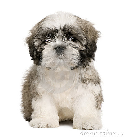 Shih tzu puppy, 9 weeks old, sitting