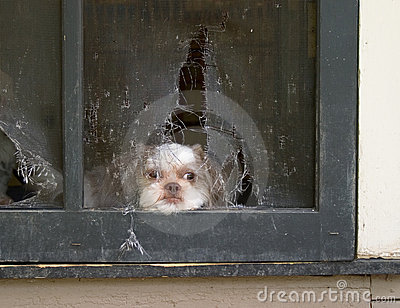 Shih Tzu Puppy Daydreams Of Escaping Thru Screen