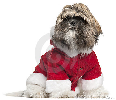 Shih Tzu puppy in Santa outfit, 4 months old