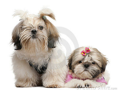 Shih Tzu s, 7 months old and 3 months old