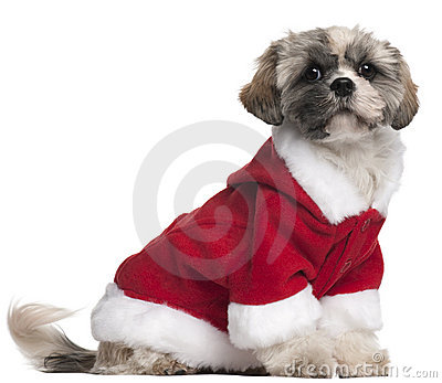 Shih Tzu in Santa outfit, 7 months old, sitting