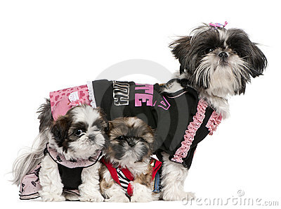 Shih Tzus dressed up