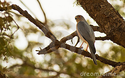 The Shikra Sparrowhawk