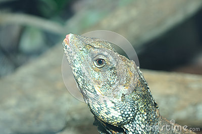 Shingle-backed Skink