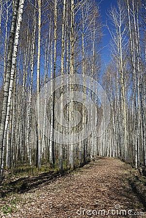 Shining Birch Forest