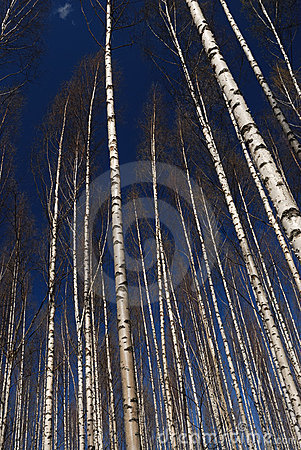 Shining Birch Forest