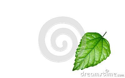 Shining green leaf