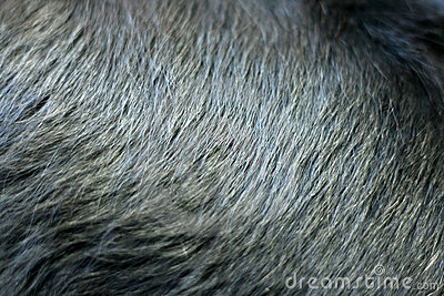 Shiny black fur of dog