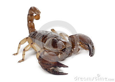 Shiny Burrowing Scorpion