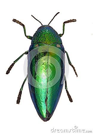 Free Shiny Green Beetle Royalty Free Stock Photography - 153117
