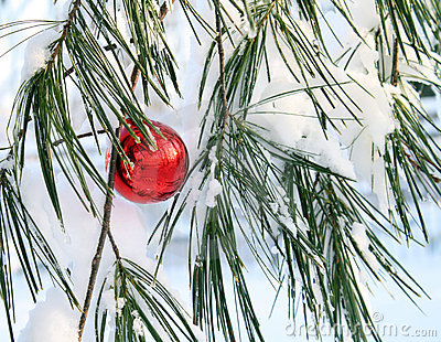 Shiny red xmas ball in a pine tree