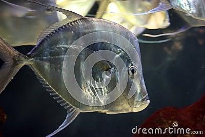 Shiny silvery fish