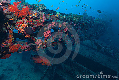 Ship wreck and red grouper Indian ocean underwater