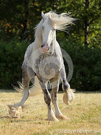 Free Shire Draft Horse Stallion Royalty Free Stock Images - 60152639