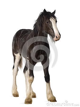Free Shire Horse Foal Royalty Free Stock Images - 27270009