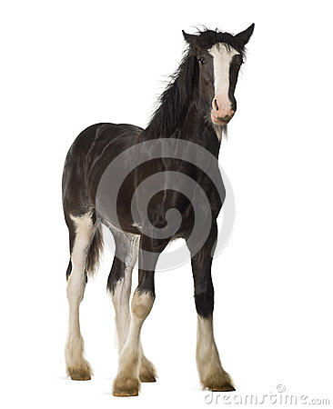Free Shire Horse Foal Stock Images - 27270024