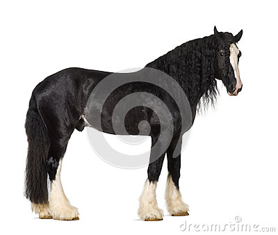 Shire Horse standing