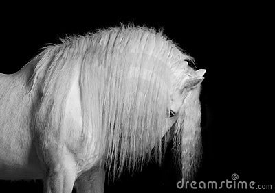 Shire stallion on black