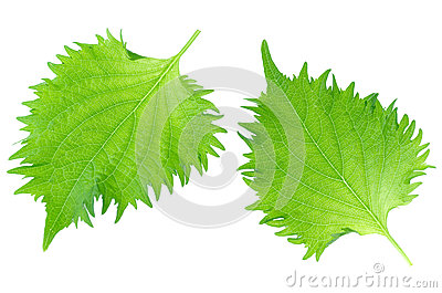 Shiso, Japanese Culinary Herb
