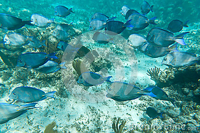 A shoal of fishes in Caribbean Sea