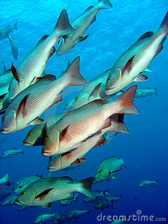 Free Shoal Of Silver Bream Stock Photography - 653602