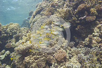 Shoal of snapper on a tropical reef